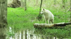 White wolf in a pond Stock Footage