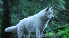 White wolf stands at the top of a small hill Stock Footage