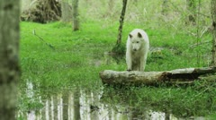 White wolf reflection in a pond Stock Footage