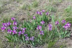 Dwarf iris flowers (Iris pumila L., Iridaceae) Stock Photos