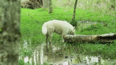 White wolf sniffing the ground Stock Footage