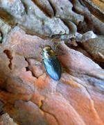 Closeup of a borer beetle (Buprestidae) sitting on a pine tree Stock Photos