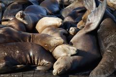 Sea lions sleeping on dock Stock Photos