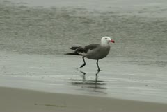 Seagull Feasting at Beach - stock footage