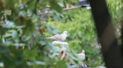 Pair of doves (Collored dove) Stock Footage