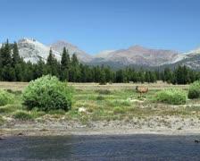 Deer in Yosemite 1 Stock Footage