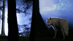 White wolf in blue fog Stock Footage
