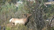Stock Video Footage of Cow Elk Feeding