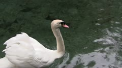 Swan swimming in a pond Stock Footage