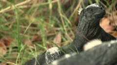 Marine Iguana - relaxing on a lava rock - stock footage