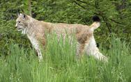 Stock Photo of eurasian lynx in natural back