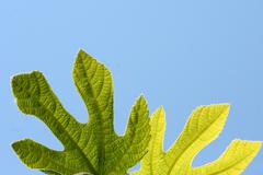 Fig tree leaves - stock photo