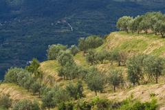 Olive grove on the hills - stock photo