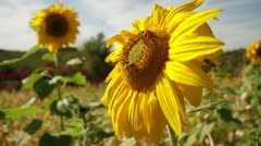 Film Sunflower & Bees Stock Footage