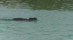Marine Iguana - swimming in water - stock footage