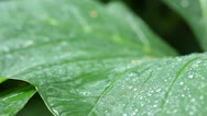 Macro Big Leaf Dolly, Jungle, Rain Forest, Drops, Professional Audio Stock Footage
