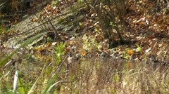 Amid Nature - A Pair of Camera Shy Wood Ducks in the Fall Stock Footage