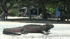 Marine Iguana - with cars in background - stock footage