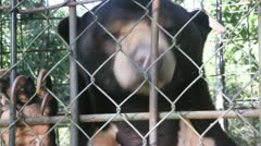 Close up of sun bear in a cage Stock Footage