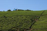 Stock Photo of tea plantation