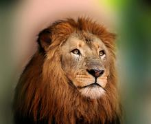 Royal king lion with sharp bright eyes Stock Photos