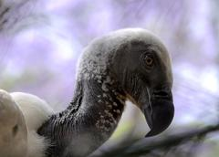 Stock Photo of close-up of african white backed vulture
