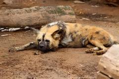 Stock Photo of sleeping african wild dog