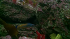 Colorful fish  Couckoo wrasse 5 Stock Footage