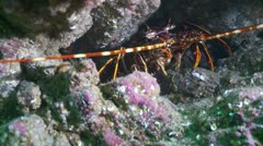 Colorful crayfish 2 Stock Footage
