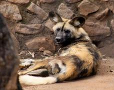 african wild dog with gig ears - stock photo
