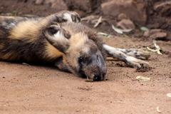 African wild dog taking sand bath Stock Photos