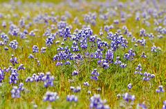 Texas blue bonnet Stock Photos