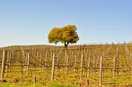 Autumn vineyard Stock Photos