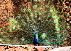 Stock Photo of peacock plumage display hd effect