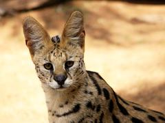 close-up of serval african wild cat - stock photo