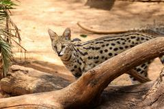 serval african wild cat in nature - stock photo