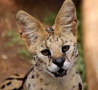 Stock Photo of close-up of serval african wild cat