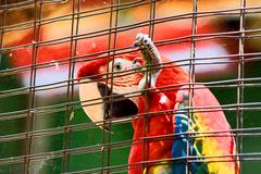 caged scarlet macaw in hd - stock photo