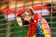 Stock Photo of caged scarlet macaw in hd