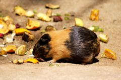 little guinea pig eating fruit - stock photo