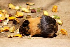 Little guinea pig eating fruit Stock Photos