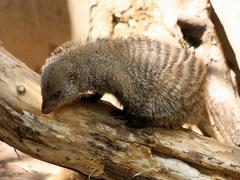 banded mongoose looking for food - stock photo