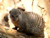 Stock Photo of close-up of banded mongoose