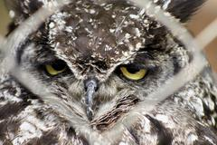 africa spotted eagle owl looking through fence - stock photo
