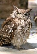 africa spotted eagle owl with yellow eyes - stock photo