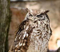 africa spotted eagle owl with closed eyes - stock photo