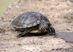 Red eared slider terrapin Stock Photos