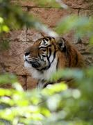 side profile relaxed tiger face in a bush - stock photo