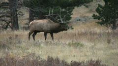 Rutting Bull Elk Stock Footage