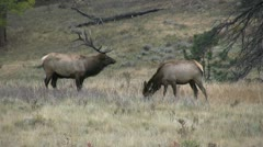 Bull Elk Bugling Stock Footage
